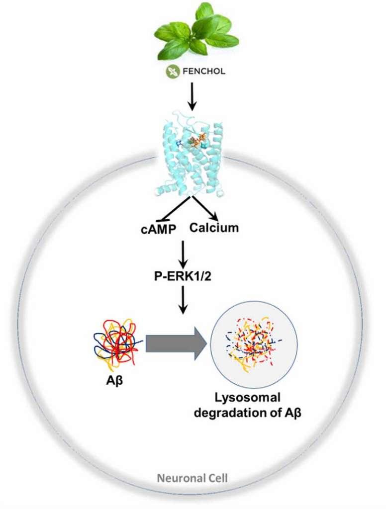 Le mécanisme d'action du fenchol. Il active le récepteur FFAR2 (en bleu) sur les neurones. Par une cascade de signalisation, les éléments chargés de la destruction des protéines dans la cellule sont activés et détruisent les agrégats de protéines amyloïdes. © Atefeh Razazan et al., Frontiers in Aging Neuroscience