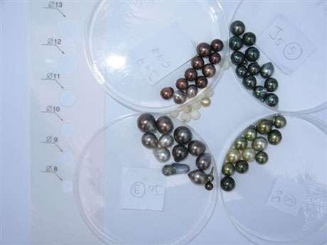 Perles. © Ifremer, tous droits de reproduction interdits