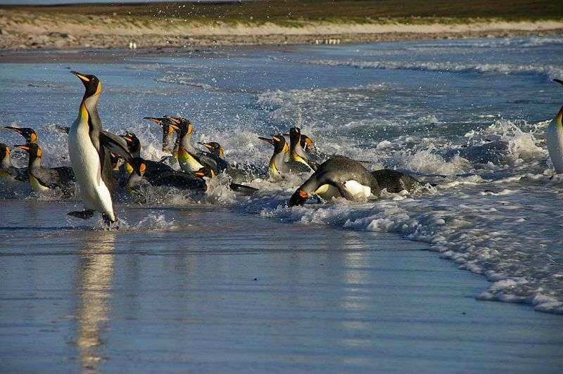 Manchots sortant de l'eau. © Ben Tubby, CC-by-2.0
