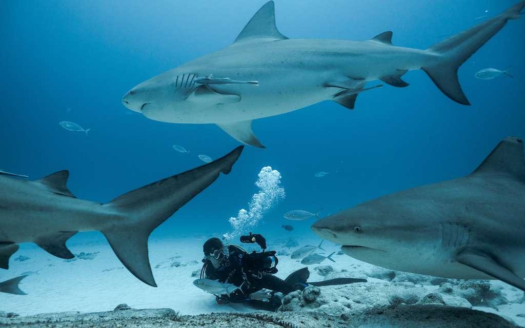 Depuis une quinzaine d'année, un rassemblement de requin-bouledogue (Carcharhinus leucas) est observé à 800m des plages touristique de Playa Del Carmen au Mexique. Une population d'une quarantaine de femelles s'agglomère trois mois par an au même endroit pour des raisons encore inconnues. Steven a remarqué depuis 2013 le retour significatif de 28 d'entre elles chaque année. © Alban Mounier, Tous droits réservés