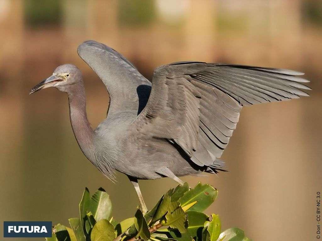 Aigrette bleue - Egretta caerulea