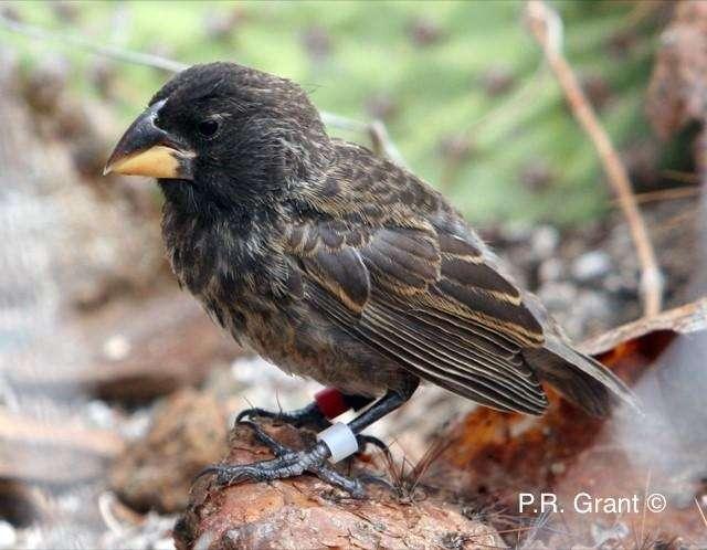 Deux espèces parentales distinctes ont donné naissance à une nouvelle lignée, baptisée Big Bird par les chercheurs. Cette photo montre un membre de cette lignée. © P. et R. Grant