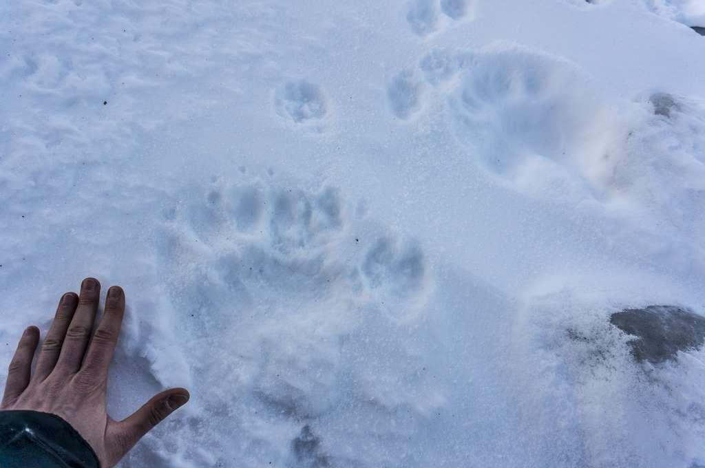 Le Svalbard, c'est aussi le territoire des ours polaires. © Heidi Sevestre, Climate Sentinels