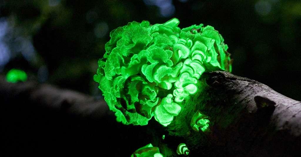 Les champignons bioluminescents Panellus Stipticus