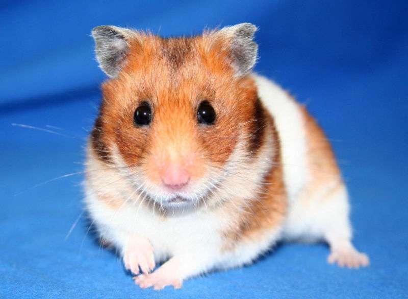 Les hamsters dorés ont un rythme circadien très précis et sont à ce titre souvent utilisés comme modèle animal. © Mandy, Wikimedia, CC by-sa 3.0