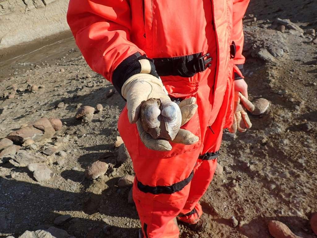 Un chercheur de la Northwestern University avec une des coquilles fossilisée collectée lors d'un voyage de recherche sur le terrain à l'île Seymour, en Antarctique. © Northwestern University