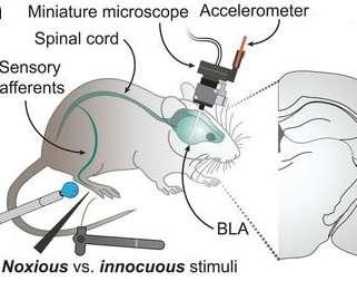 Schéma du dispositif expérimental : la souris porte un microendoscope. BLA signifie amygdale basolatérale. © Corder et al 2019, Science