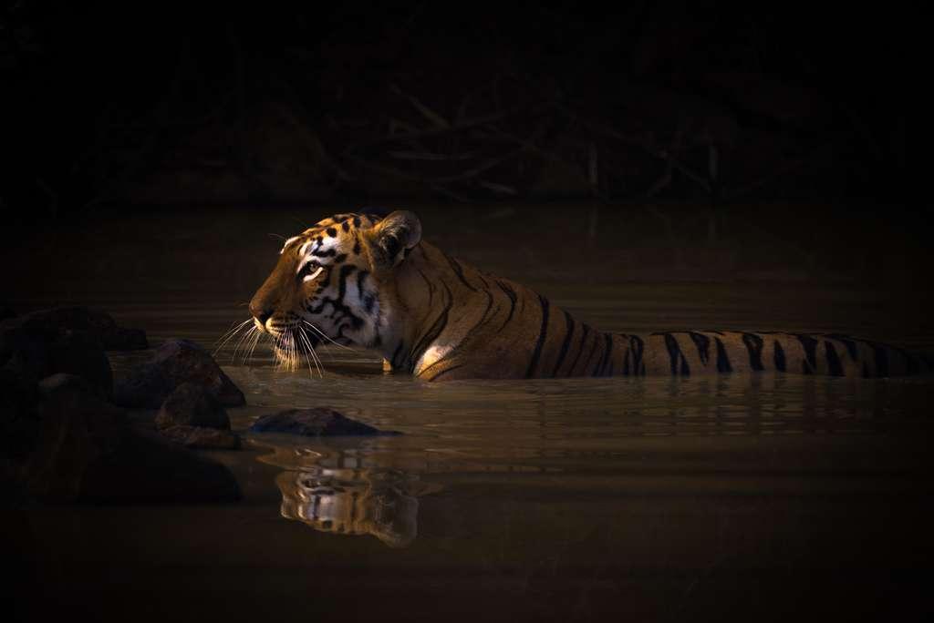 Tigre du Bengale, réserve de Tadoba Andhari, Inde. © Nick Dale, World Nature Photography Awards