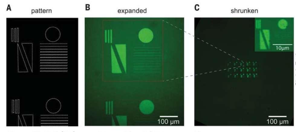 Le plan 3D de l'objet est monté sur un substrat, ensuite exposé à une lumière laser qui va dessiner la forme désirée. L'objet est alors rétréci par déshydratation du substrat. © Daniel Oran et al, Science, 2018.