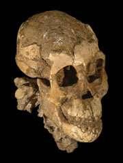 Le crâne de Selam a été complètement dégagé et le scanner a montré des dents de lait. À l'âge adulte, les australopithèques avaient un cerveau de taille semblable à celui des grands singes actuels. © Zeresenay Alemseged et al., Nature