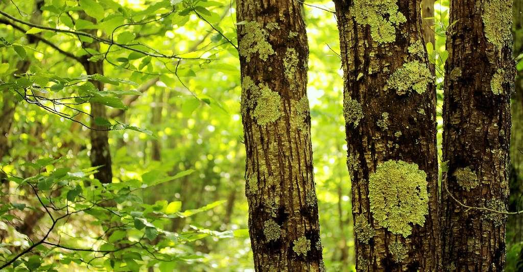 Lichens corticoles utilisés en biosurveillance des milieux forestiers. © Yannick Agnan - Tous droits réservés