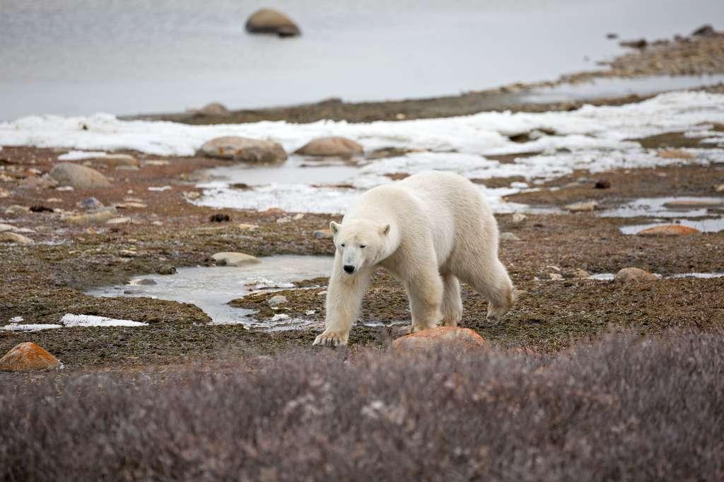 Avec la disparition de la banquise, les ours polaires ont de plus en plus de difficulté à chasser pour se nourrir. Un problème d'autant plus inquiétant que l'espèce a besoin de beaucoup d'énergie. © Andreas Edelmann, fotolia