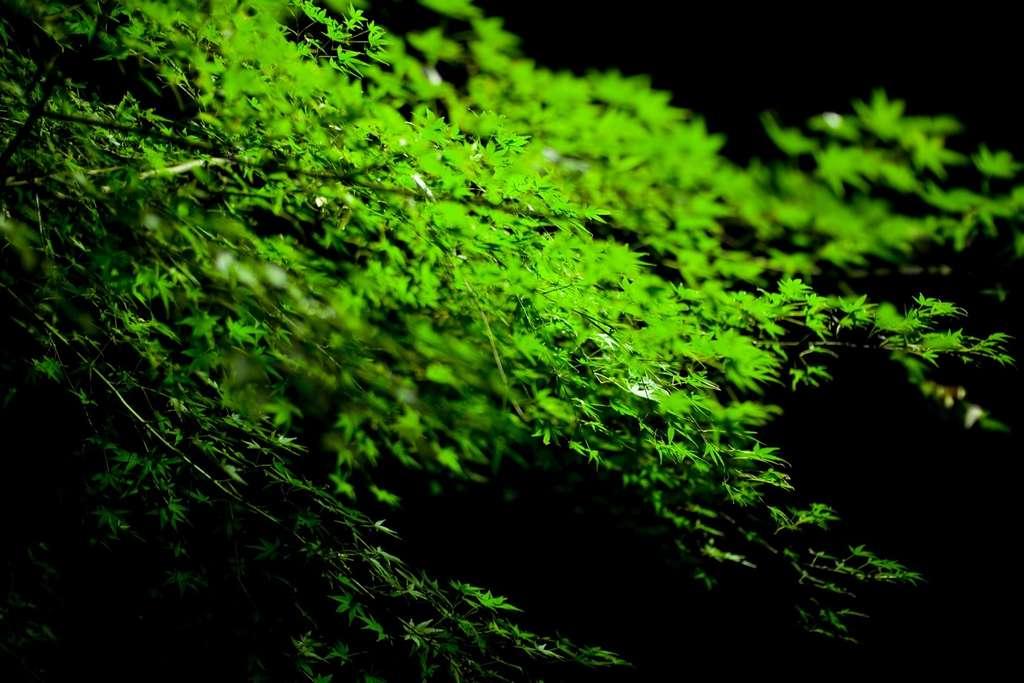 L'érable du Japon est un arbre essentiellement décoratif. © Joi Ito, Flickr CC by 2.0