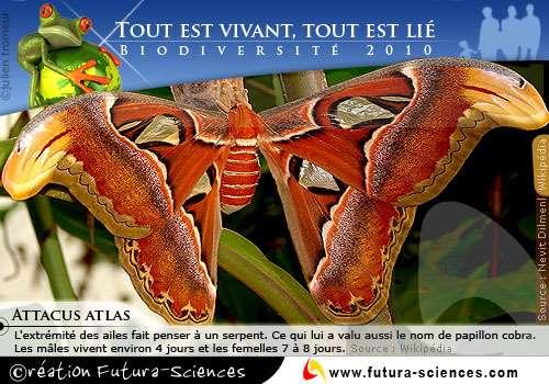 Biodiversité : le papillon Attacus Atlas