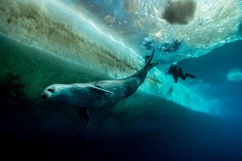 Un phoque plonge sous la glace. Il connaît, comme les manchots, la richesse de ces eaux sombres et glacées. C'est à ce genre de spectacle que nous convie le film L'empereur. © Vincent Munier