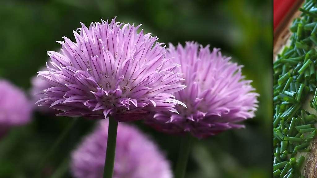 La ciboulette et les herbes fines font partie des plantes aromatiques. © Cyclonebill, Terry Dunn, CC by-nc 2.0