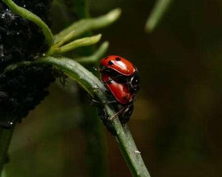 Les insectes, ici des coccinelles, utilisent souvent des molécules chimiques pour communiquer entre eux, et en particulier pour attirer leur partenaire sexuel. © : D. Subielos