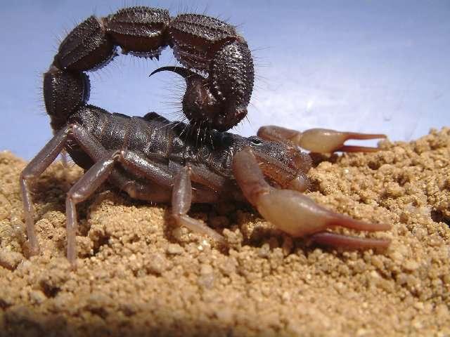 Parabuthus transvaalicus est un scorpion dangereux. © Alexander Tietz, Wikipédia, CC by-sa 2.0