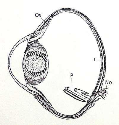 Coupe de l'œil d'un rapace diurne. © D'après Grassé, reproduction et utilisation interdites