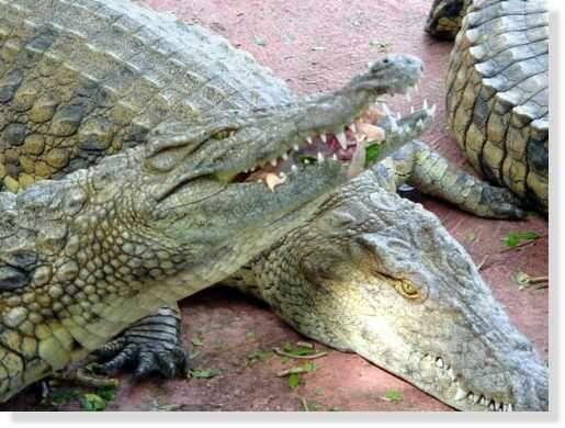 Repas du crocodile du Nil © Photo Philippe Mespoulhé Reproduction interdite