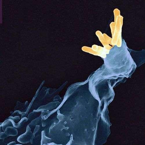 La bactérie M. tuberculosis (en jaune), ou bacille de Koch, peut être phagocytée par les cellules immunitaires (en bleu). Ce redoutable agent infectieux cause la tuberculose. Cette nouvelle étude montre que la protéine Parkin, initialement connue pour son rôle dans la maladie de Parkinson, participe à la lutte immunitaire contre ce pathogène. © AJC1, Flickr, cc by nc 2.0