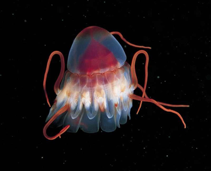 La méduse casquée