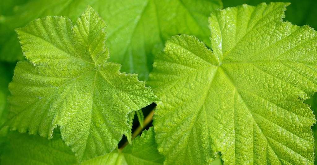 La chimie du végétal reste un défi pour remplacer le pétrole. © GLady CCO