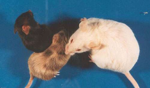 La structuration spatiale de l'organisme est reproductible génération après génération. Elle est sous contrôle génétique. La maman souris ressemble à ses petits. © Olivier De Backer, UCL