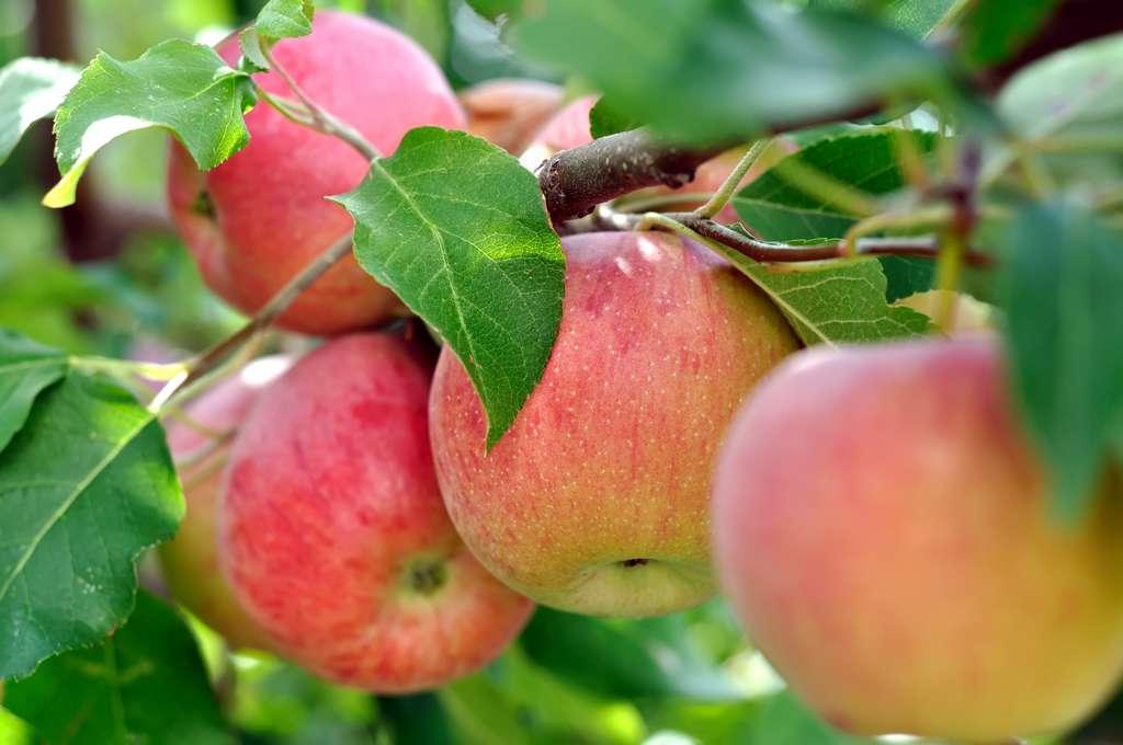 Des chercheurs ont évalué l'effet de la consommation de trois pommes par jour sur les marqueurs de l'inflammation. © beerfan, Adobe Stock