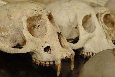 On aperçoit au premier plan un crâne de singe présentant une cavité sous l'oeil droit Celle-ci serait le fait d'un aigle couronné africain (Crédits : Photo by Jo McCulty, Ohio State University)