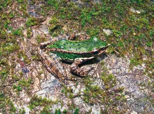 Amolops akhaorum, une grenouille du nord-ouest du Laos. © Bryan Stuart