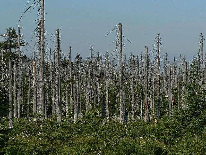 Les séquelles d'une pluie acide dans une forêt de la République tchèque. © Nipik, Wikimédia domaine public