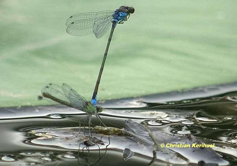 L'accouplement des libellules