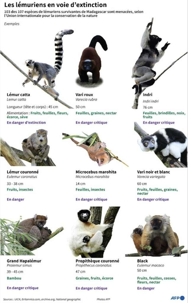 Sur les 107 espèces de lémuriens, 103 sont menacées voire en danger critique, dernière catégorie avant l'extinction. © John Saeki, AFP