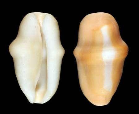Fig. 17 : La coquille nue du Cyphoma gibbosum. © Jean-Pierre Pointier - Tous droits réservés