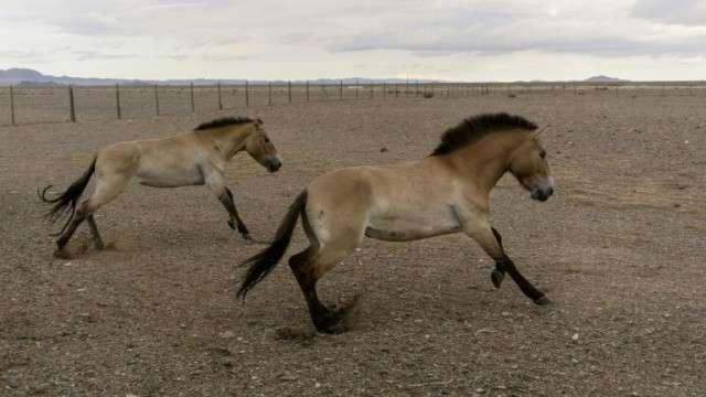 Deux chevaux de Przewalski, relâchés dans le sud-ouest de la Mongolie, le 20 juin 2018. © Jan Flemr, AFP