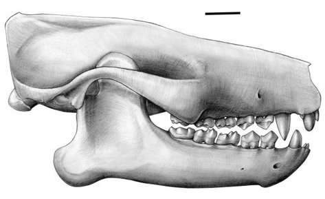 Le crâne complet du plus vieux mammifère africain connu à ce jour, Ocepeia. Ses molaires évoquent l'éléphant mais il n'a que 2 prémolaires par côté de mâchoire. De plus, certains caractères sont ceux des insectivores. Un patchwork passionnant pour les zoologistes. La barre d'échelle représente 1 cm. © Charlène Letenneur