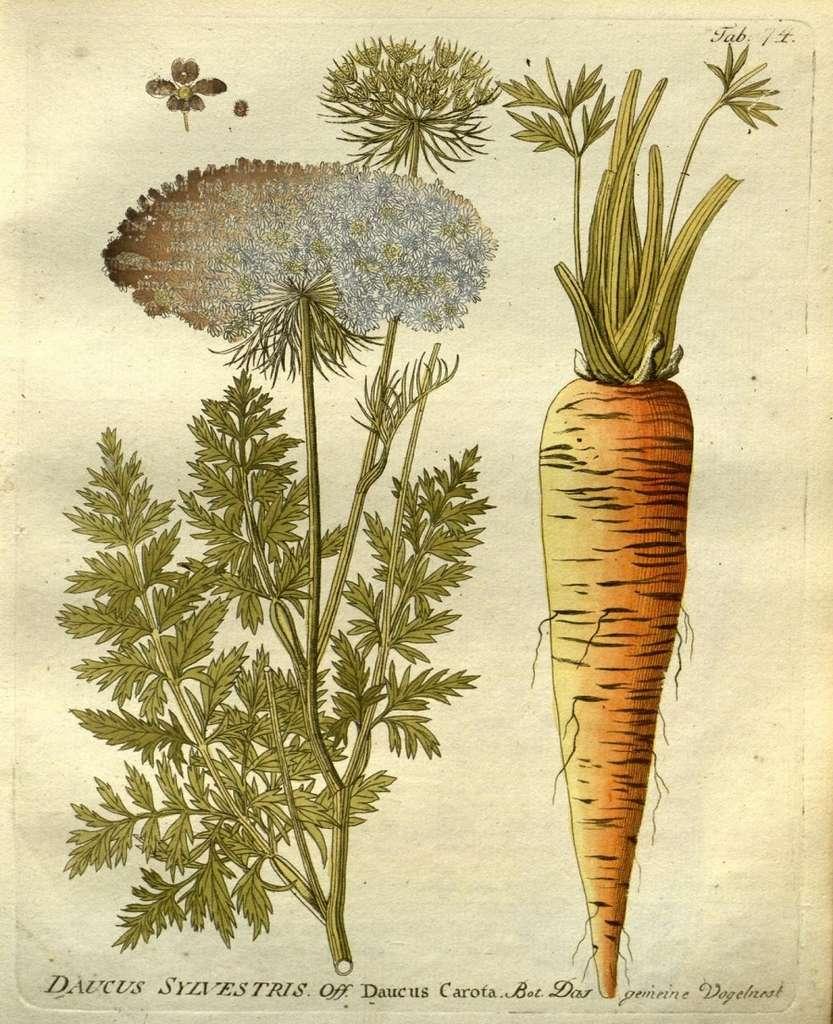 Graines dans les fleurs de carotte. © BHL, Domaine cublic