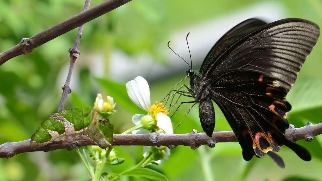 Les Achillides, des papillons qui cachent leurs couleurs