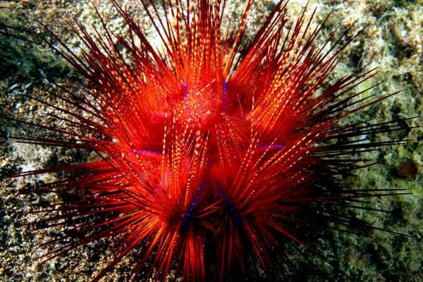 Souvent rouge sombre, l'espèce d'oursin Astropyga radiata présente aussi des teintes de beige, orange, violet et noir. Ses épines regroupées laissent entrevoir des points bleus iridescents très lumineux. © Q. Phia, Wikimedia Commons, CC by-sa 2.0