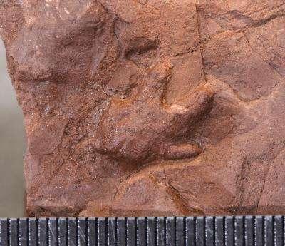 Une empreinte de membre antérieur d'un Massospondylus juvénile qui montre que les jeunes étaient quadrupèdes (chaque graduation représente 1 mm). © D. Scott