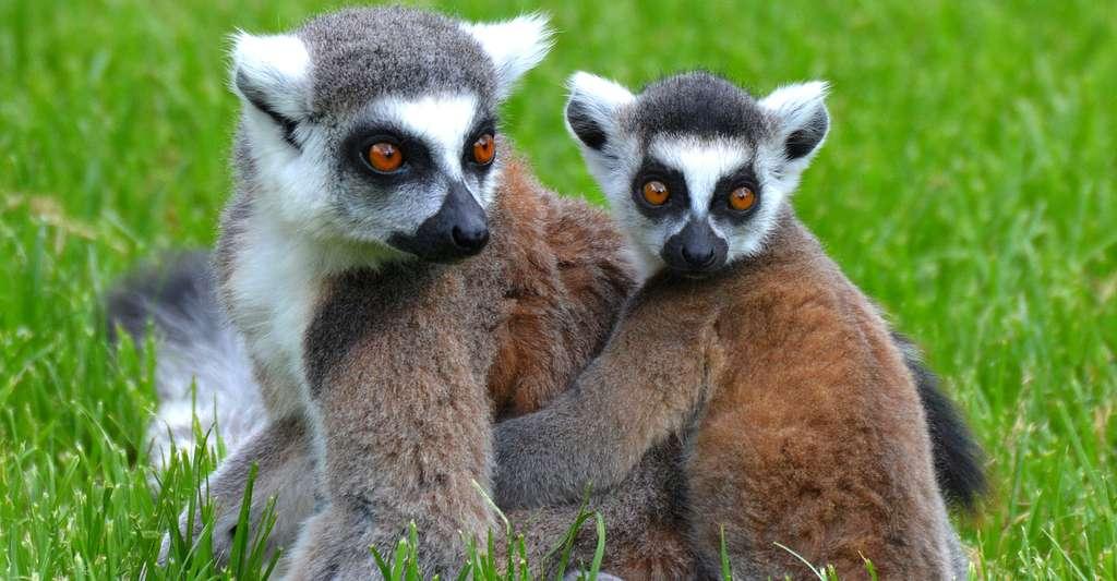 Le lémurien est une des espèces endémiques de Madagascar. © Ben Kerckx CC0, Domaine public