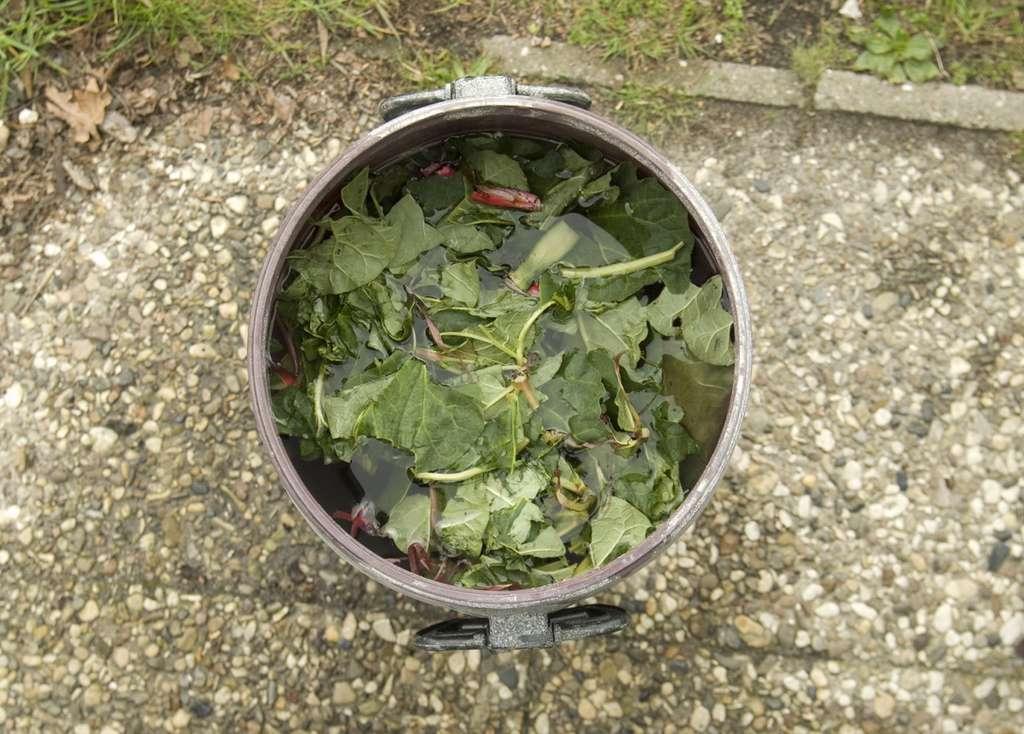 Macération de feuilles de rhubarbe. © FRÜH, Fotolia