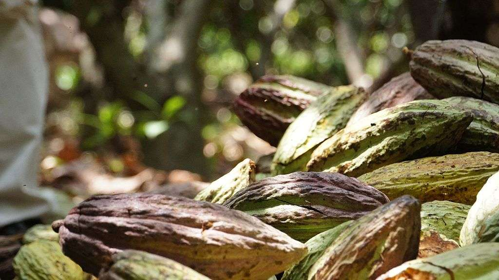 Le cacao issu des fèves du criollo est considéré comme le plus fin du monde. © Crista Castellanos, Wikimedia Commons, CC by-sa 4.0