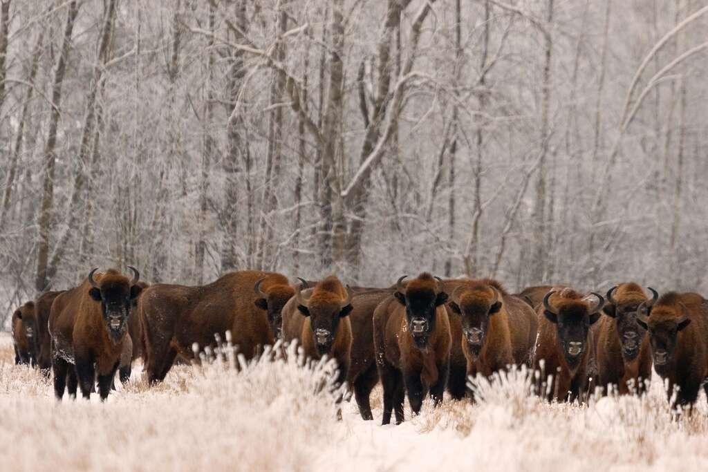 La population de bisons d'Europe a triplé depuis 2003. © Rafał Kowalczyk