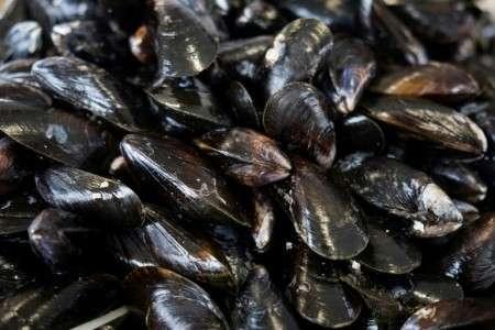 La moule est un « superfiltreur » du milieu marin et un bioindicateur de l'état de santé des mers. © Joël Saget, AFP Archives