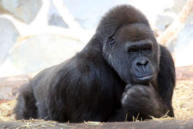 La communication gestuelle des gorilles est étudiée depuis de nombreuses années. Plus de 200 « mots » de ce langage ont déjà été répertoriés. © michèle 69600, Flickr, CC by-nc-nd 2.0