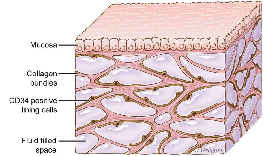 L'interstitium, ici sous une muqueuse (mucosa), comprend des compartiments interconnectés, emplis de liquide, soutenus par un réseau de protéines (collagen). Des cellules tapissent les espaces. © Jill Gregory, Scientific Reports