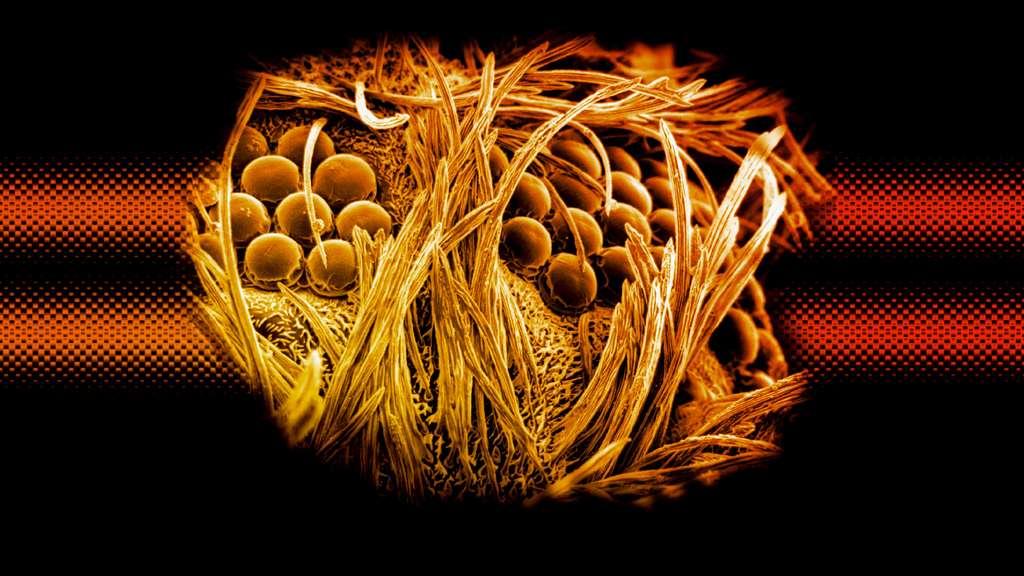 Un moucheron Cecidomyiidae vu au microscope électronique