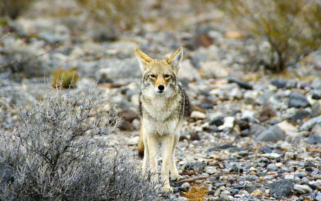 Coyote dans la vallée de la Mort. © Manfred Werner -GNU FDL Version 1.2